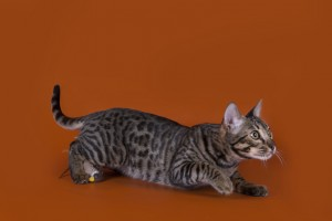 savannah cat isolated on a brown background